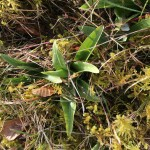 Hybrid (Orchis purpurea x simia)